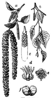 Wie Heißen Die Früchte Der Birke