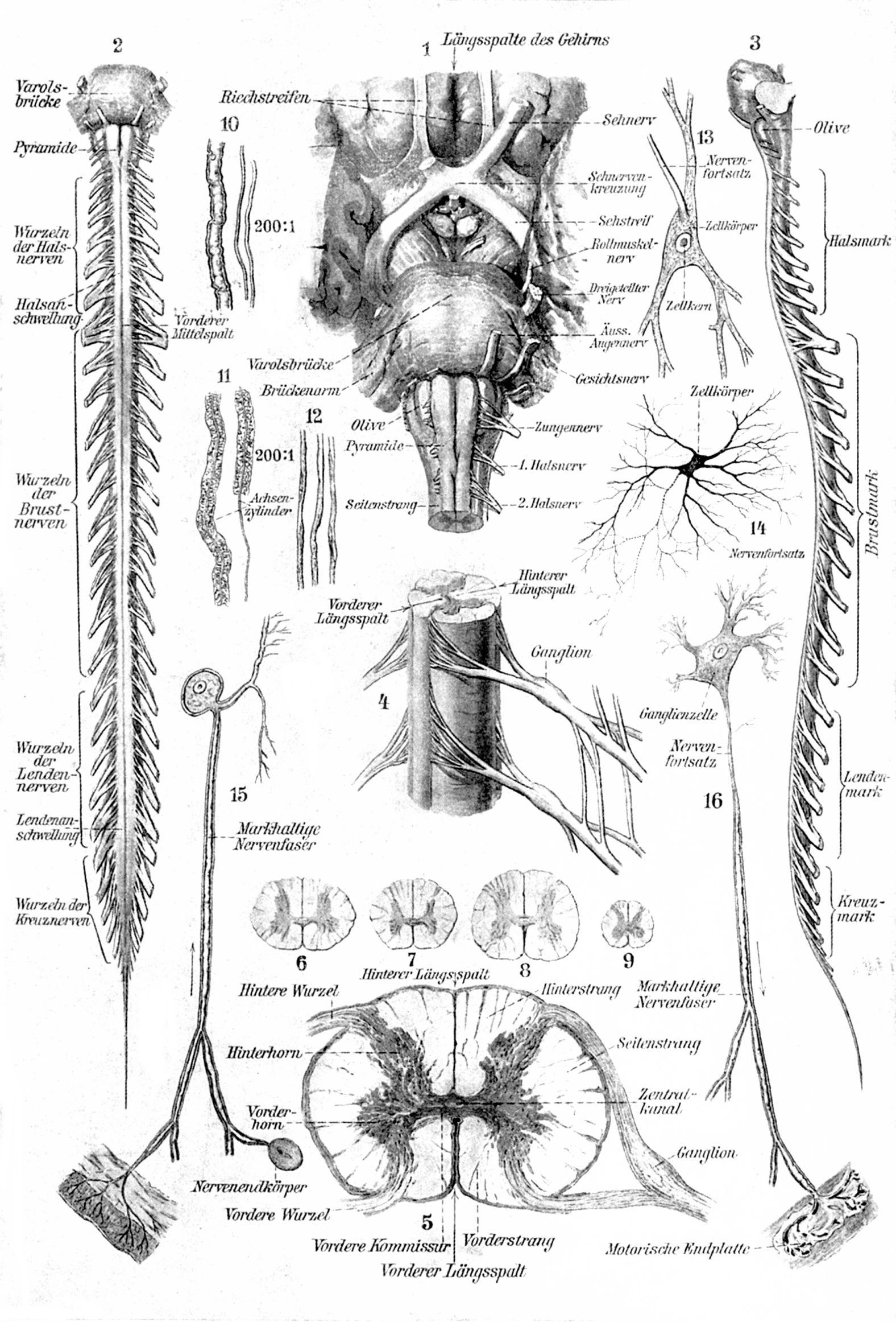 Nervensystem des Menschen. II. Rückenmark. Ganglienzellen ...