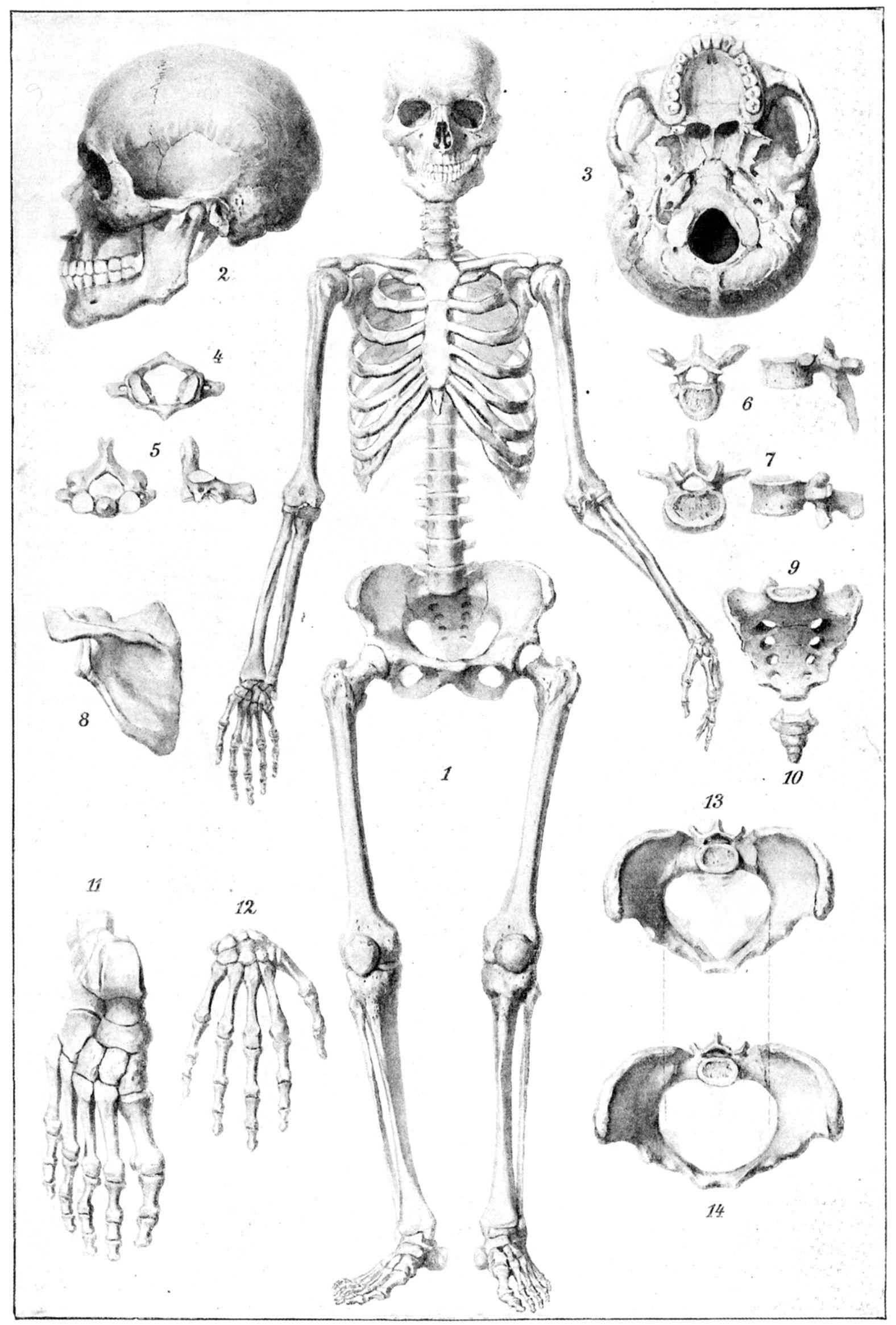 Skelett. Skelett des Menschen. 1. Skelett von vorn. 2. Schädel e6ab23c304de8