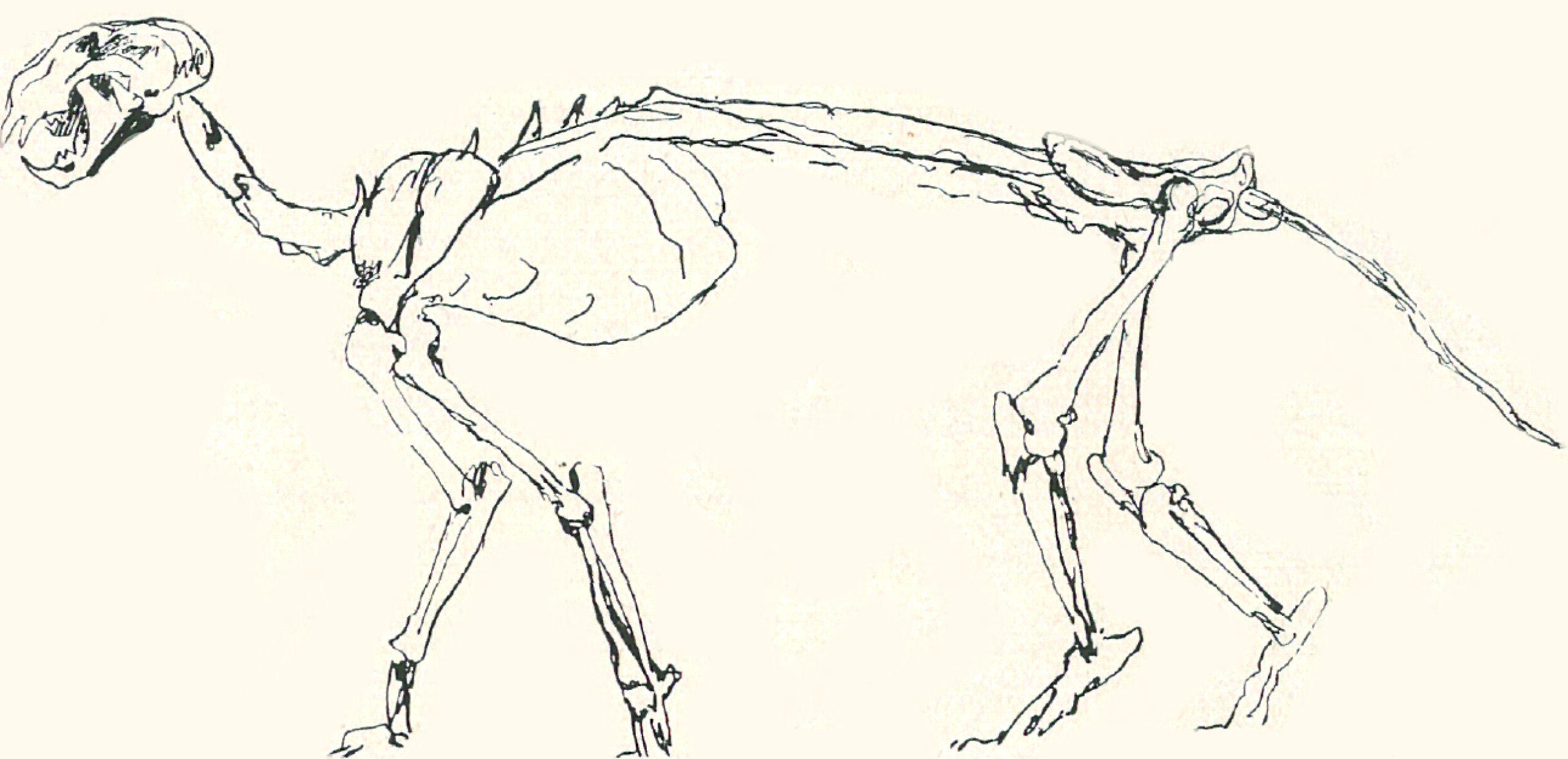 Skelett einer Katze - Zeno.org