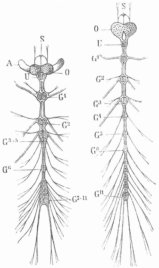 Fig. 6. Nervensystem eines Käfers (links) und seiner Larve (rechts ...