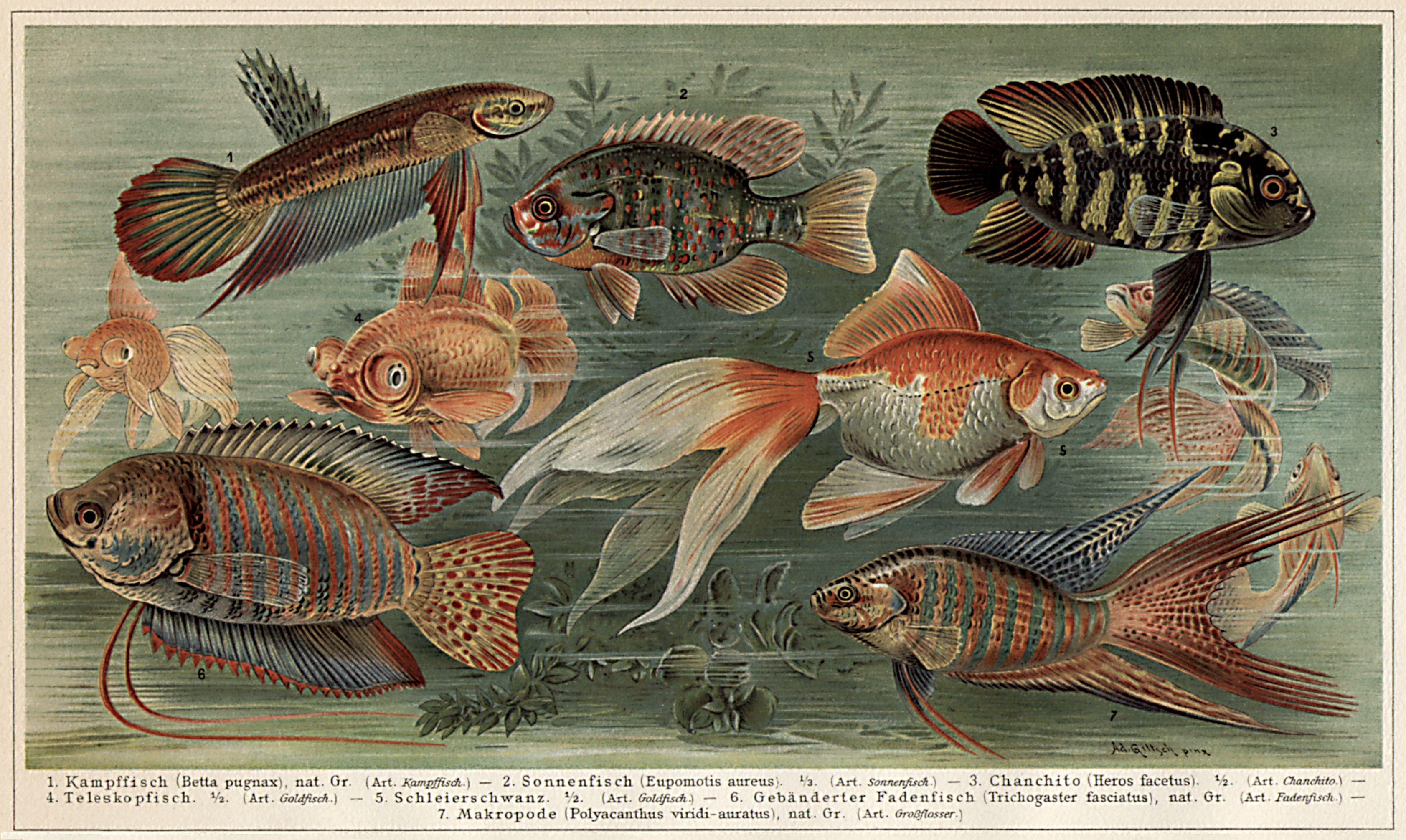 Aquarium ii fremdl ndische zierfische des zimmeraquariums for Zierfische lexikon