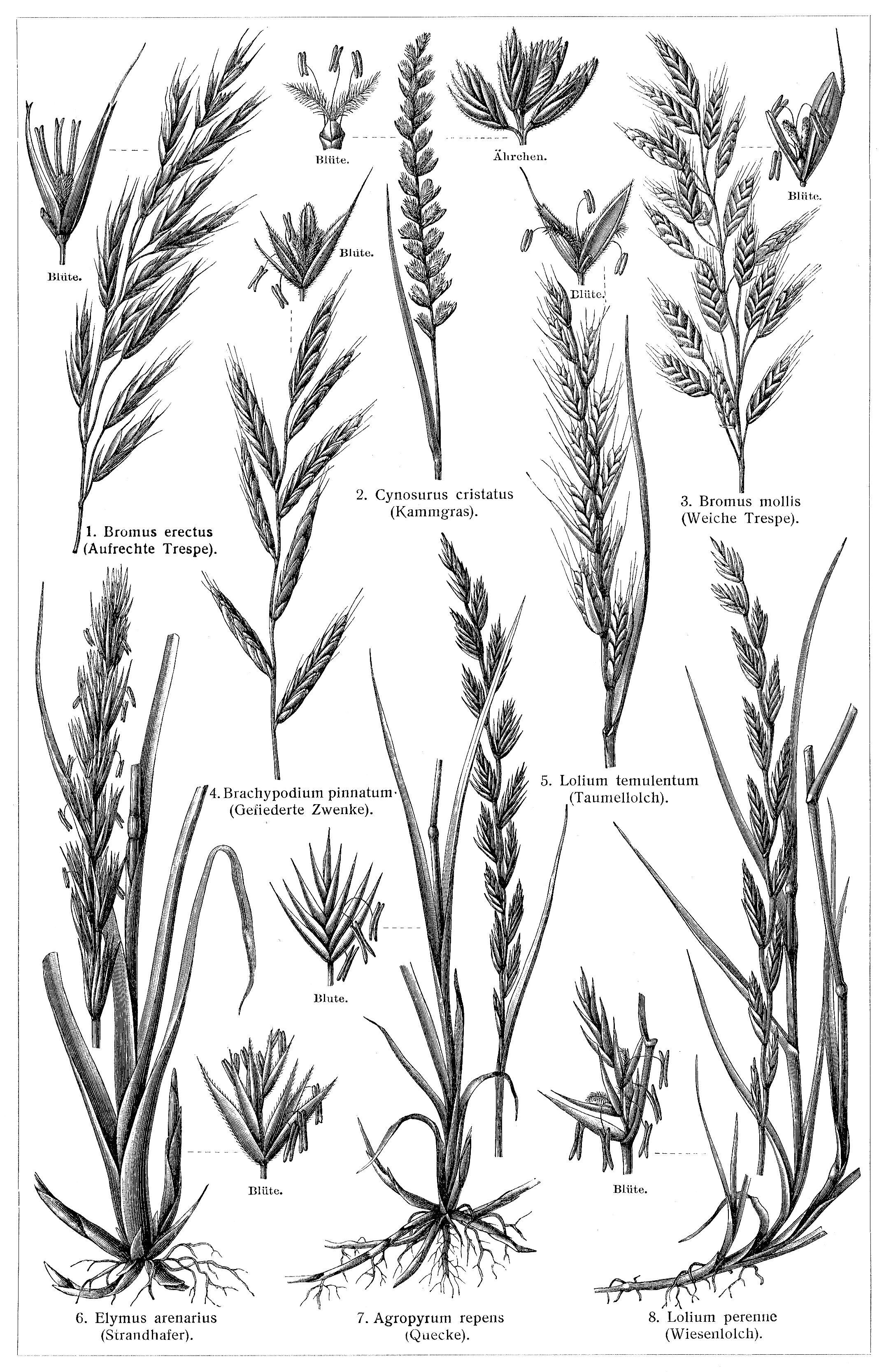 Gräser iv die beschreibung der pflanzen siehe unter den