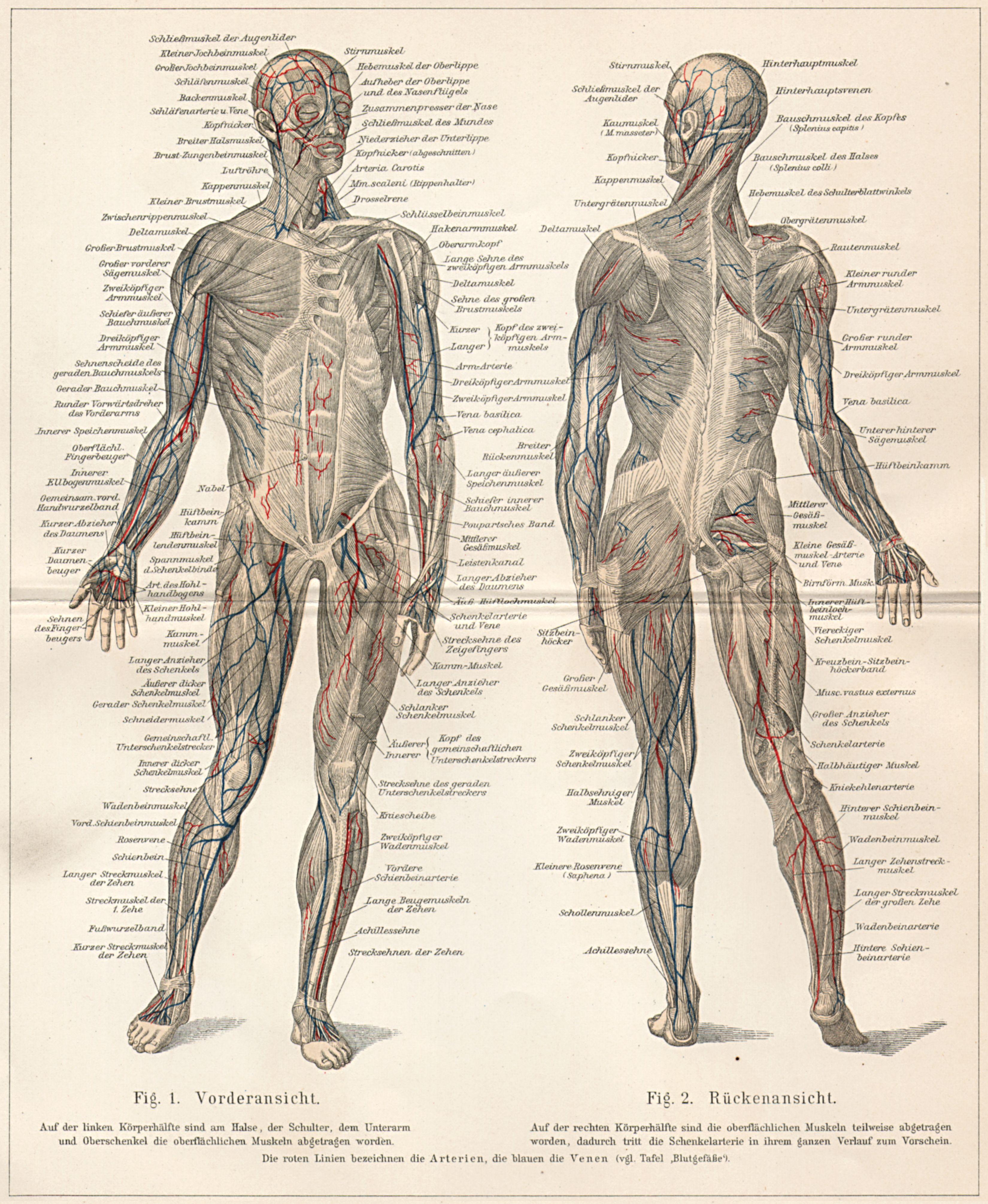 Ungewöhnlich Skelett Des Menschlichen Körpers Etikettiert ...