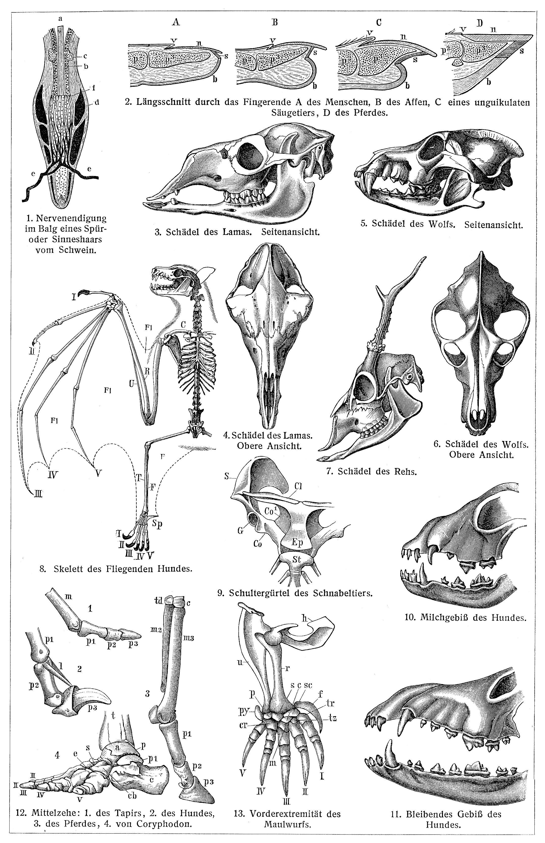 Körperteile der Säugetiere I. - Zeno.org