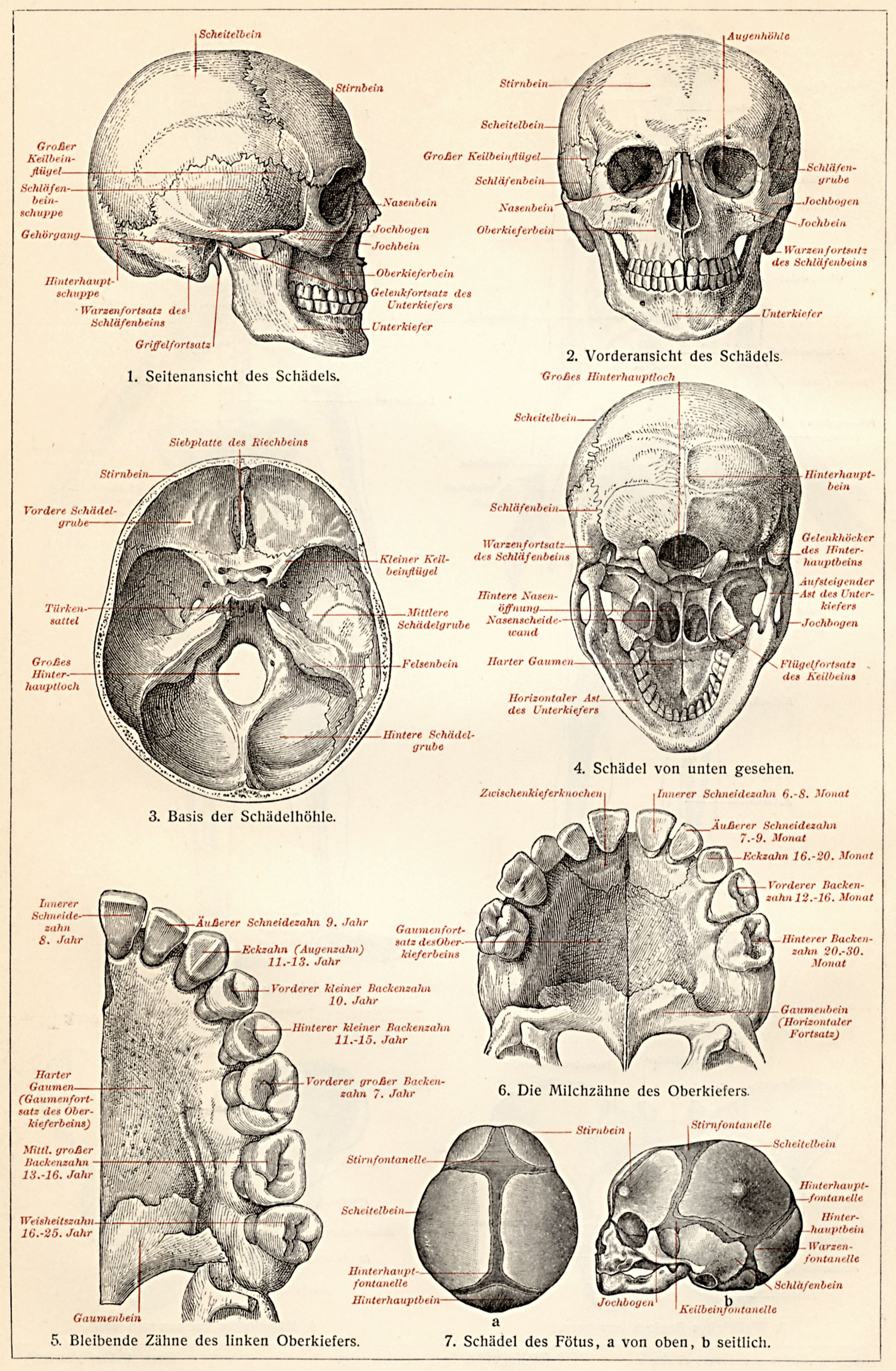 Human Male and Female Skulls: African, Asian, and European ...