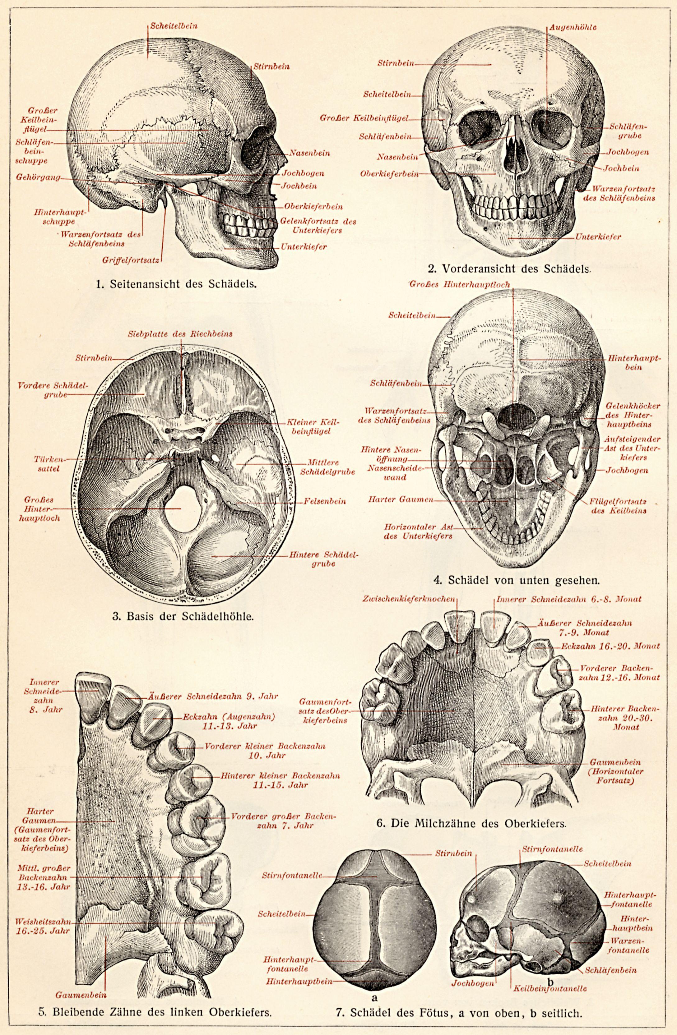 anatomie schädel mensch