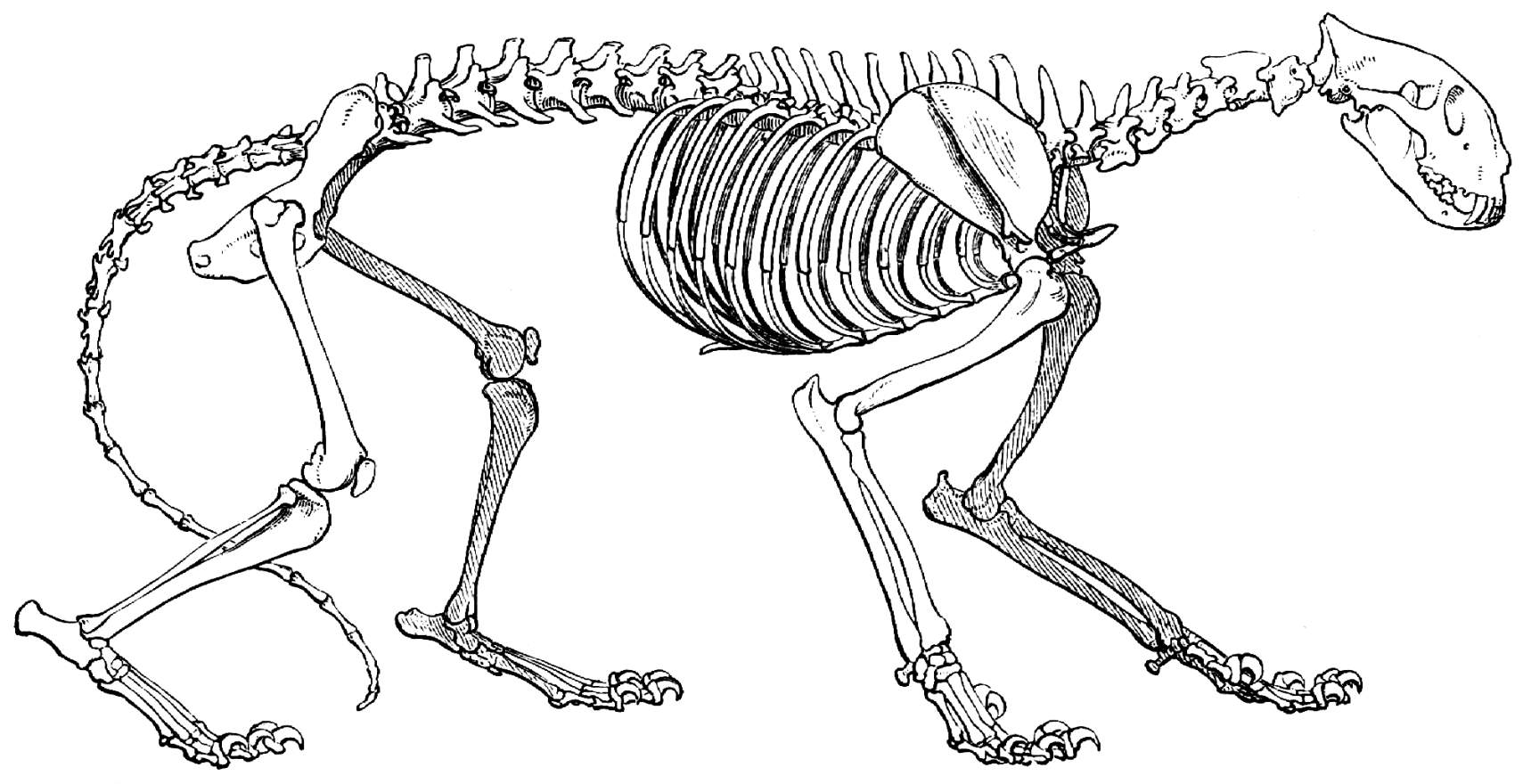 Atemberaubend Anatomie Eines Geparden Ideen - Anatomie Von ...