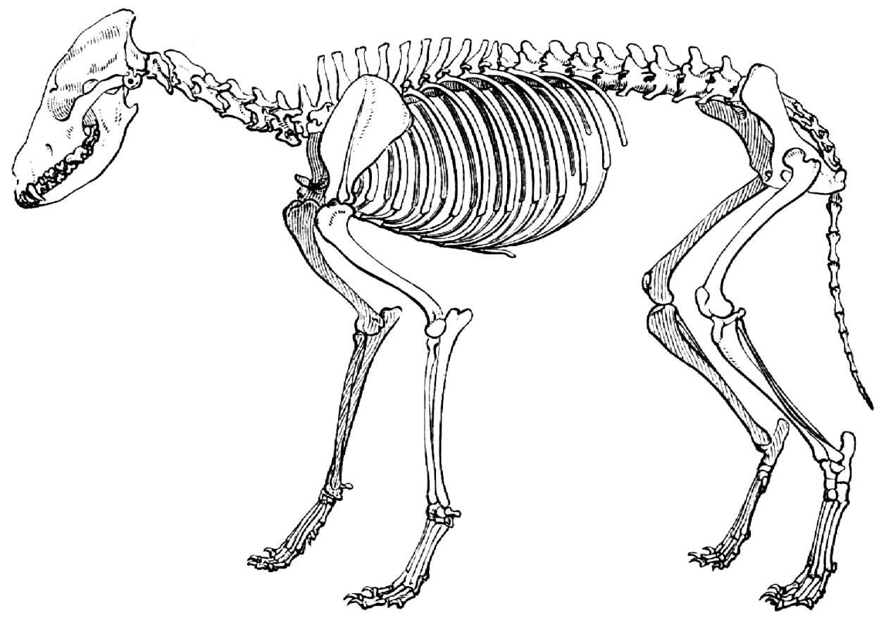 Geripp des Wolfes. (Aus dem Berliner anatomischen Museum.) - Zeno.org