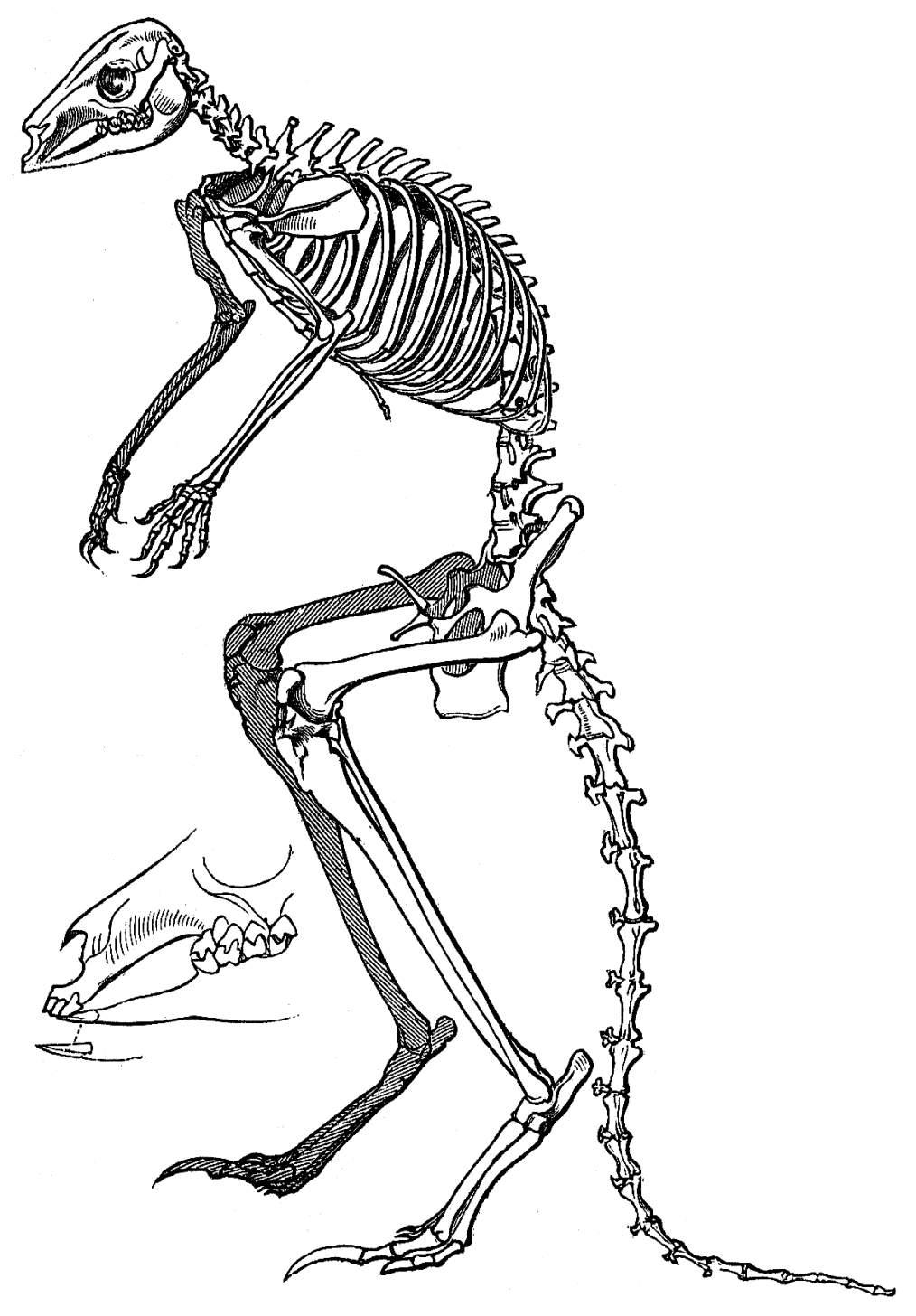 Fantastisch Känguru Anatomie Männlich Galerie - Menschliche Anatomie ...