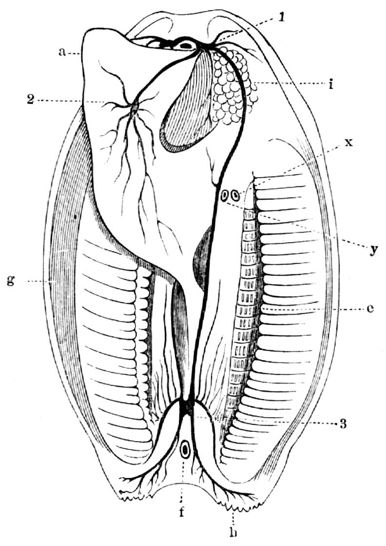 Nervensystem und andere Organe der Teichmuschel. - Zeno.org