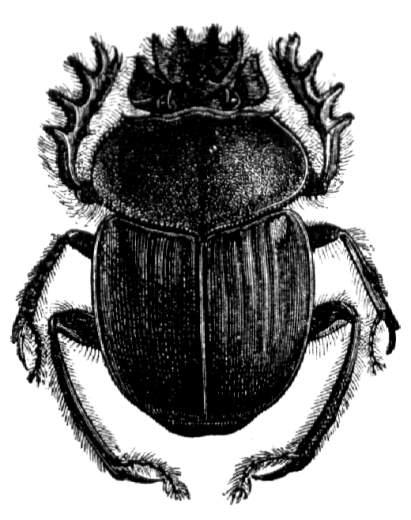 Heiliger pillendreher (ateuchus sacer), natürl. größe