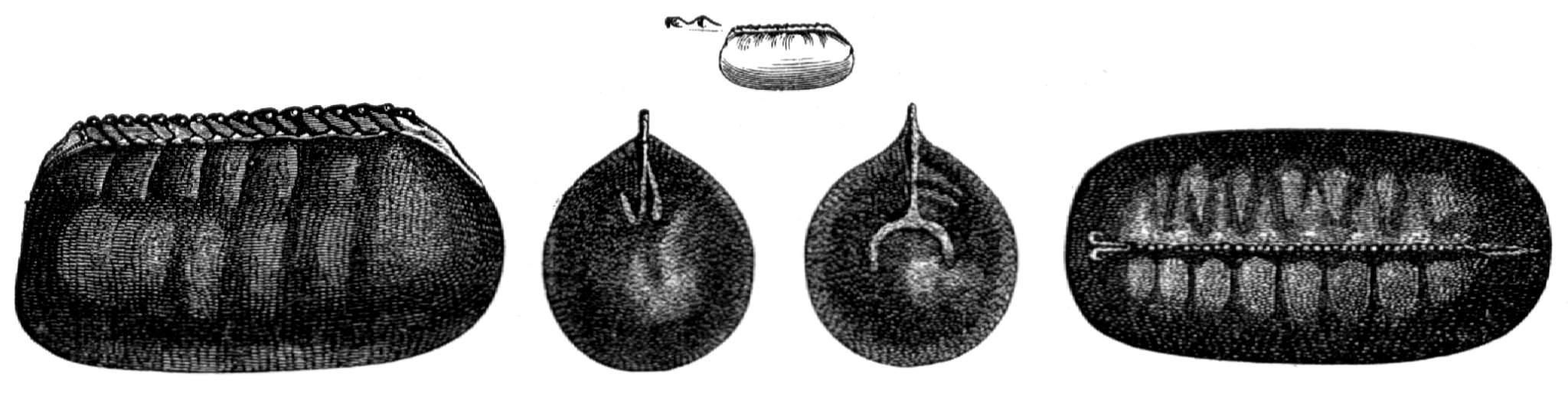 Eikapsel Der Kuchenschabe Periplaneta Orientalis Oben In