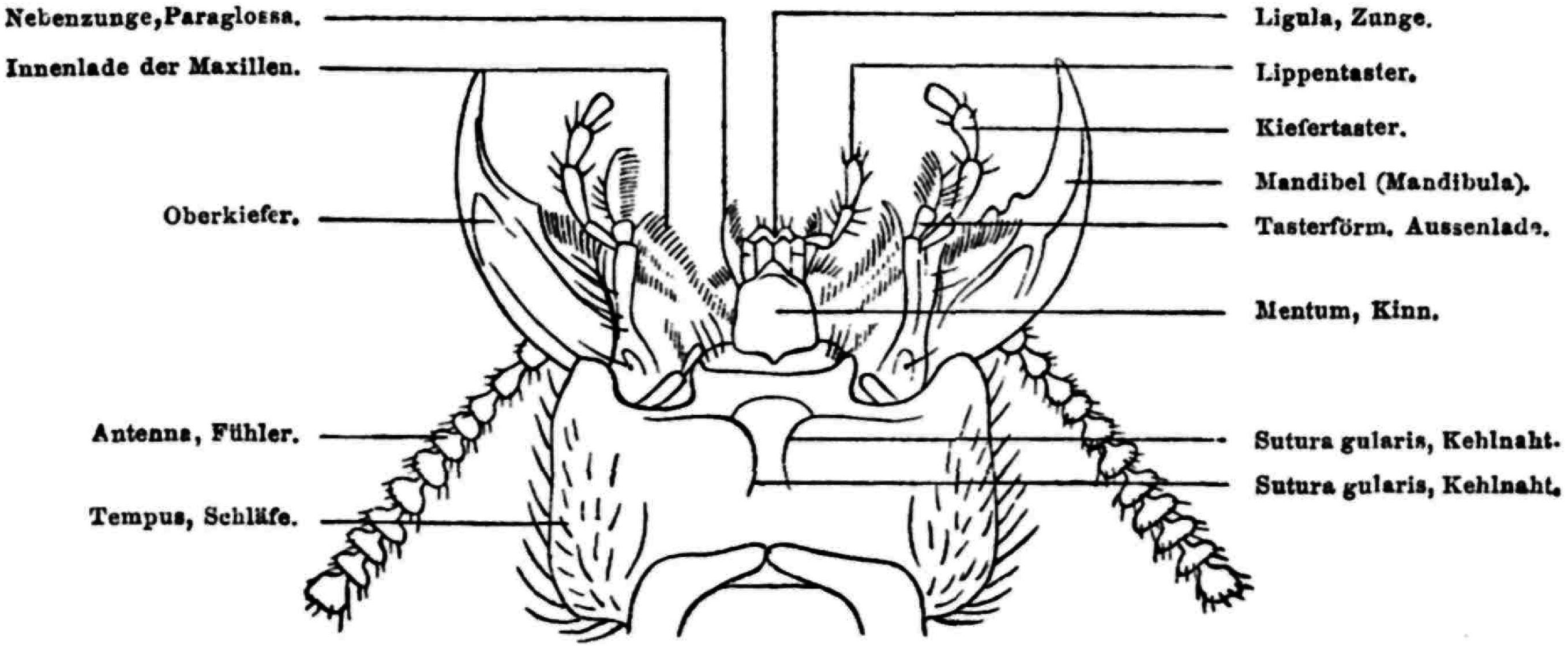 Wunderbar Anatomie Eines Käfers Ideen - Menschliche Anatomie Bilder ...