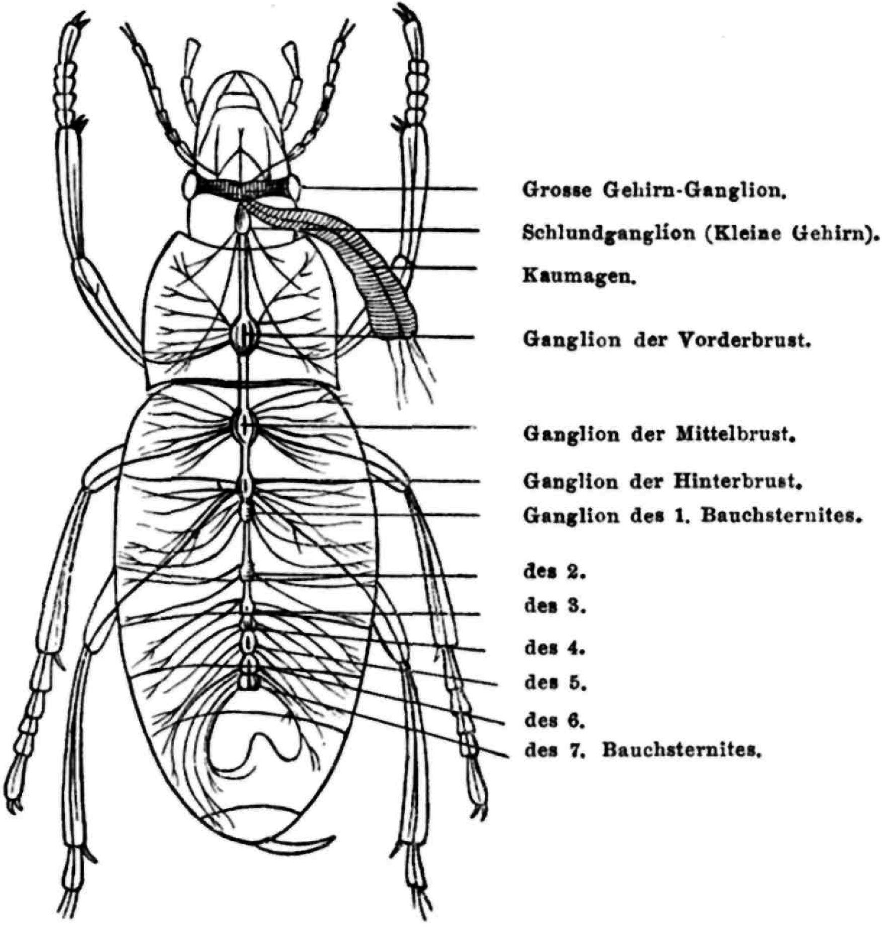 Fg. 16. Das Nervensystem eines Carabus nach Jaquelin du Val. - Zeno.org