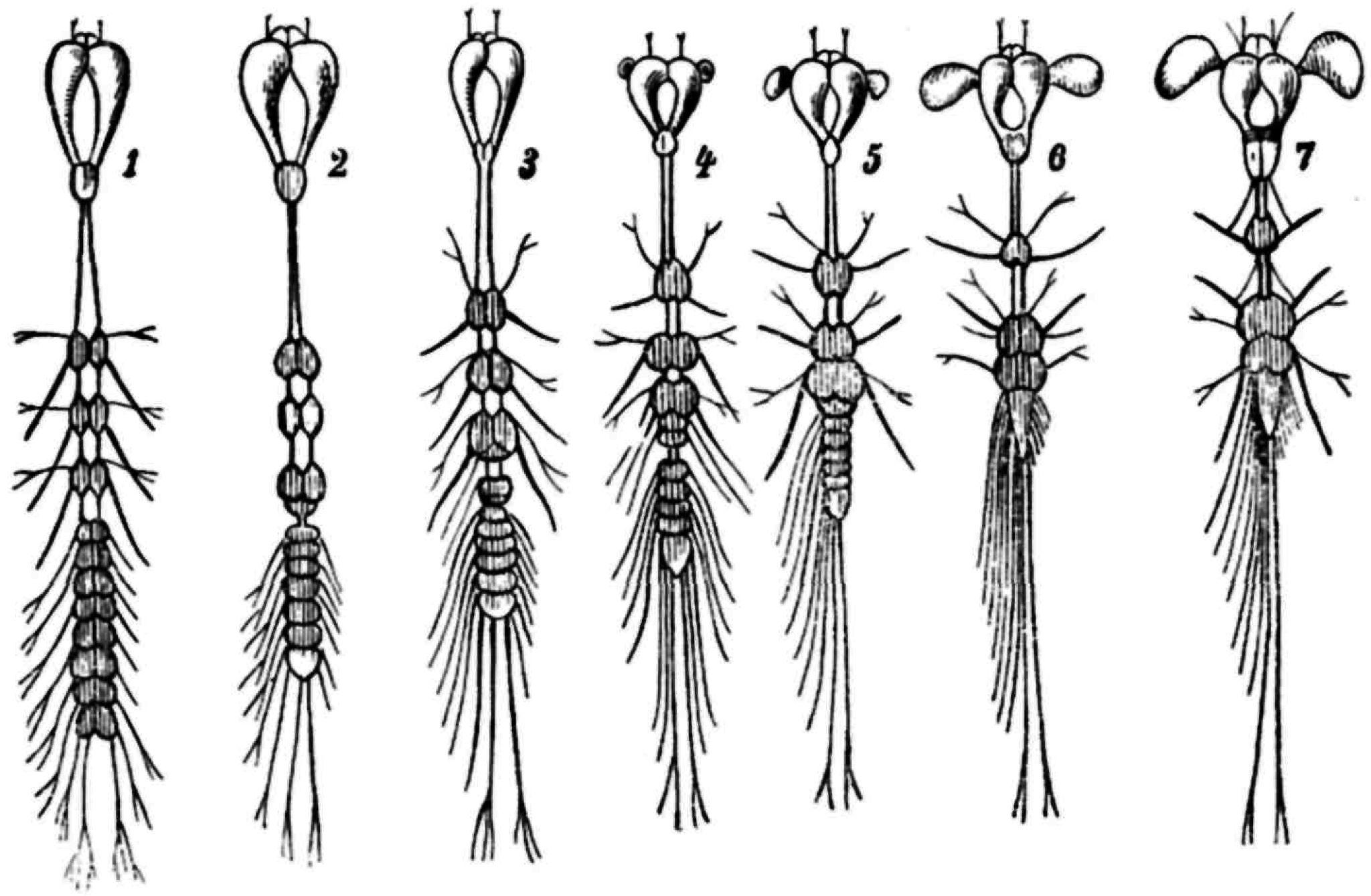 Fg. 17. Entwickelung des Nervensystems in der Larve (Fg. 1-6) des ...