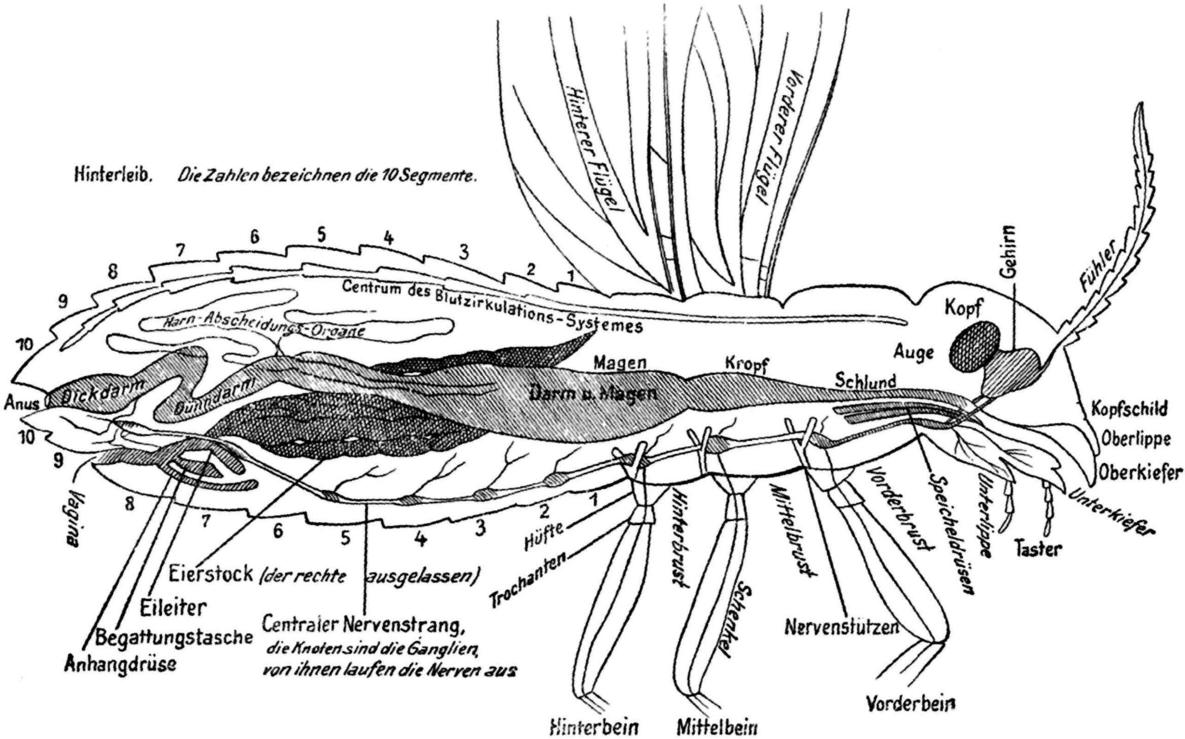 Fg. 35. Seitlicher Längsschnitt durch ein Insekt, um die Lage und ...